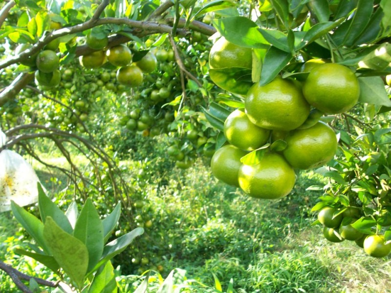 Orange Cultivation Tips How Grafting